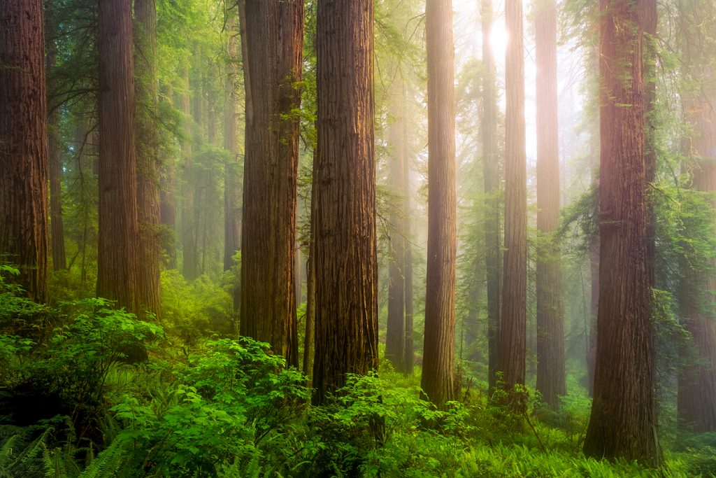 Massive Redwoods Wrapped in Fog in Del Norte Redwoods State Park on the California Coast, by Jeremy Vesely Photography