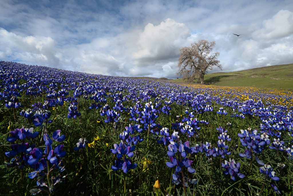 A Field of Lupines and Wildflowers in Northern California, by Jeremy Vesely Photography